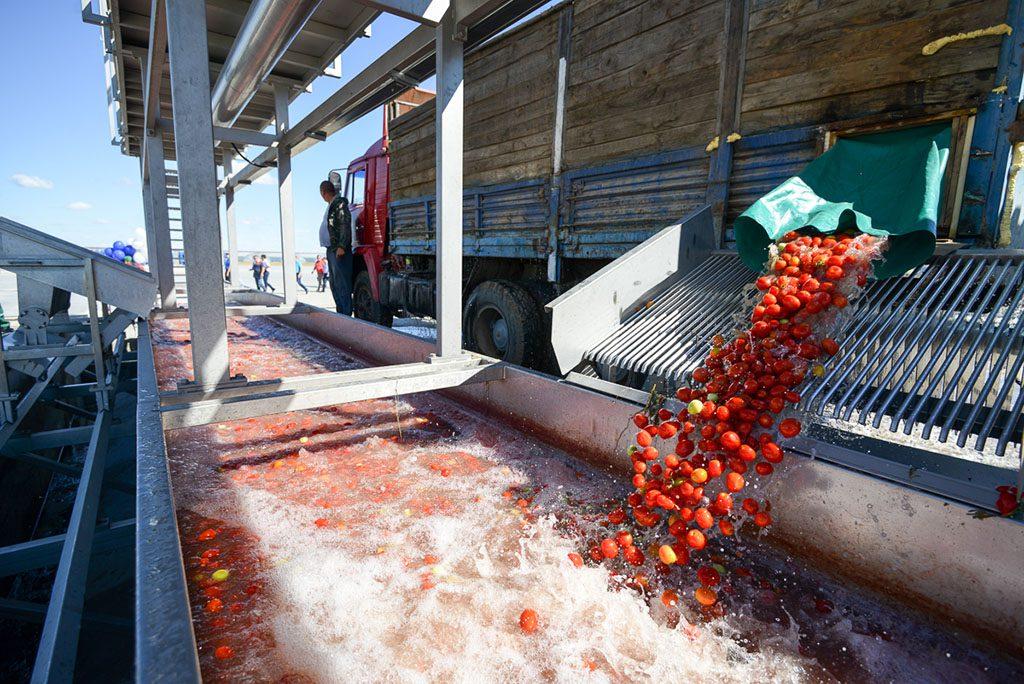 Томат өсіру және томат пастасын өндіру