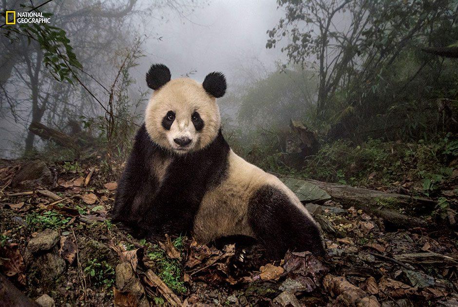 National Geographic, панда