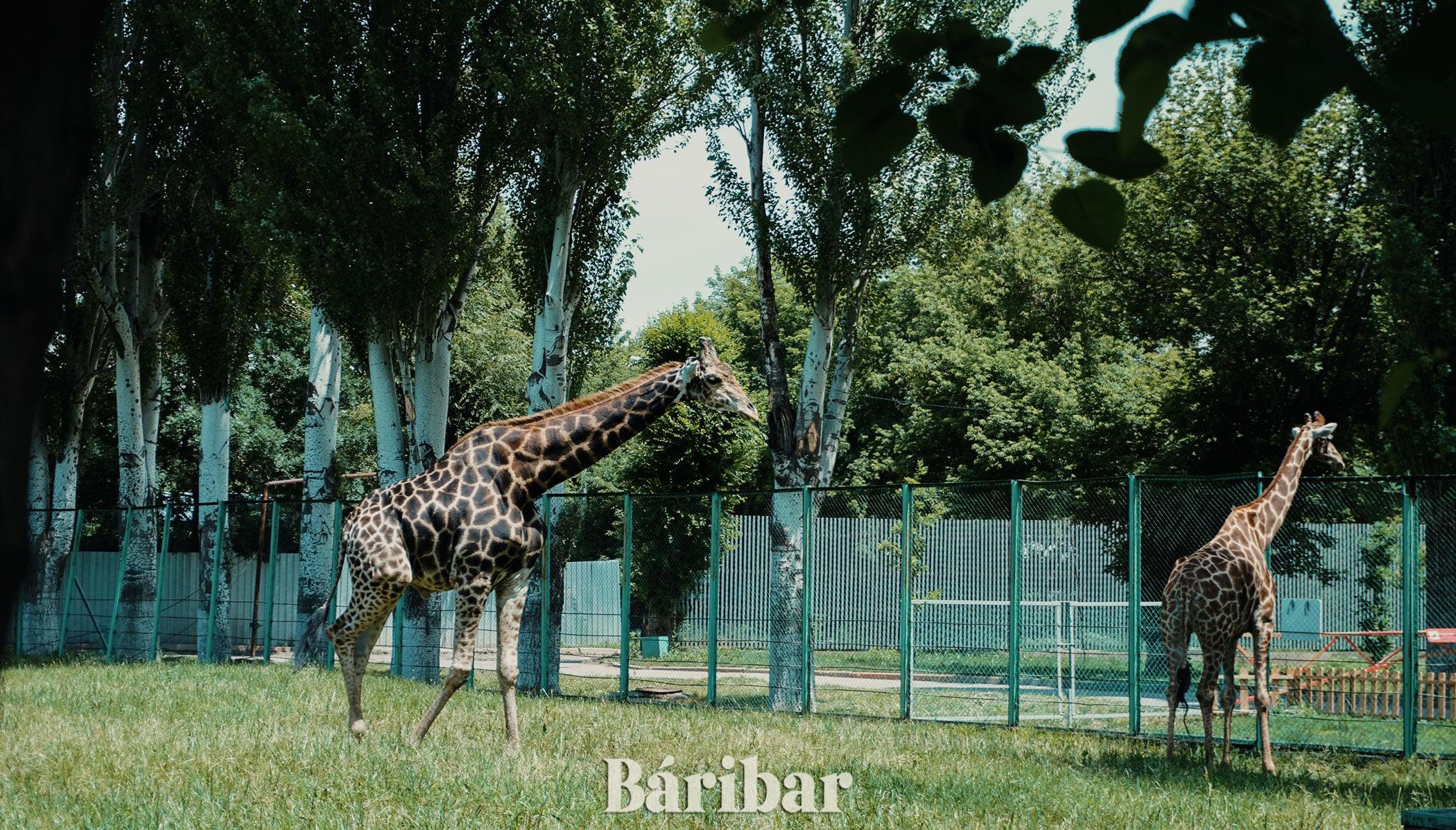 жираф Алматы зоопрак